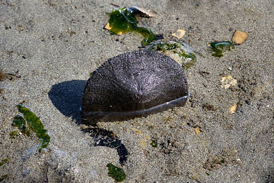 Photograph - Sand Dollar by Tikvah's Hope