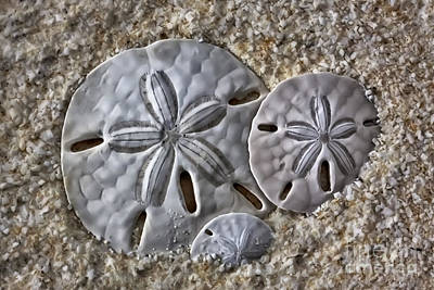 Photograph - Sand Dollars 2106 by Walt Foegelle