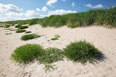 Sand Dunes At Beadnell Bay Art Print by Ashley Cooper
