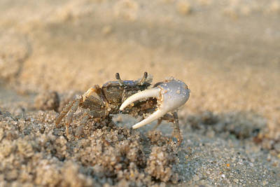 Uca Photograph - Sand Fiddler by Andrew J. Martinez