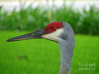 Photograph - Sand Hill Crane Portrait by Lew Davis