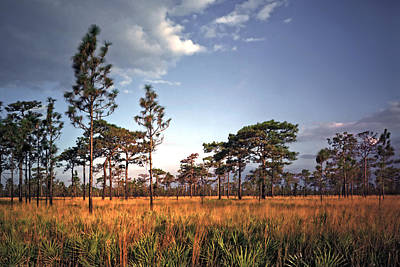 Photograph - Sand Pine And Sedge. Three Lakes W.m.a. by Chris  Kusik