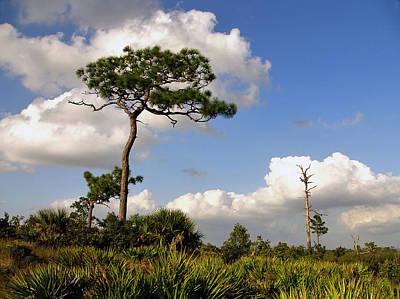 Photograph - Sand Pine Portrait. Lake Wales Ridge. by Chris  Kusik