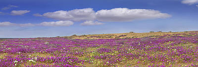 Sand Verbena On The Imperial Sand Dunes Print by Tim Fitzharris