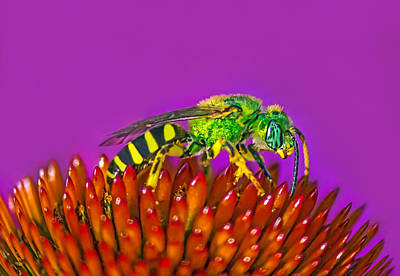 Sand Wasp Art Print by Marion Johnson