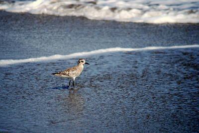 Photograph - Sanderling 001 by Larry Ward