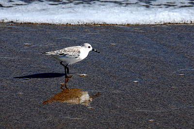 Photograph - Sanderling 004 by Larry Ward