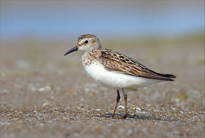 Photograph - Sanderling by Daniel Behm