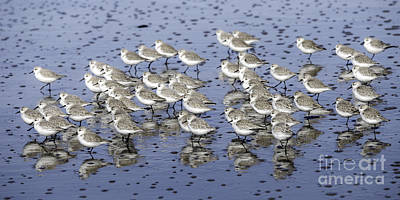 Tim Moore Photograph - Sanderling Gathering by Tim Moore