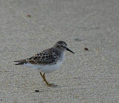 Brian Rock Photograph - Sanderling No 2 by Brian Rock