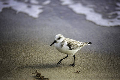 South Hutchinson Island Photograph - Sanderling On The Shore by Fran Gallogly