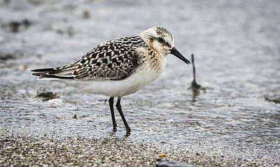 Photograph - Sanderling  by Ricky L Jones