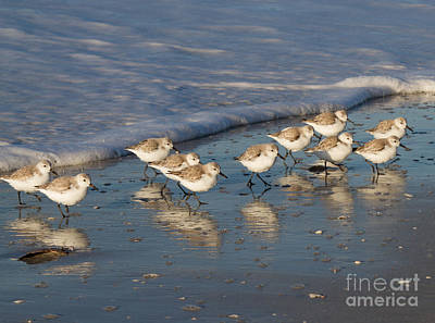 Photograph - Sanderlings And Surf by Chris Scroggins