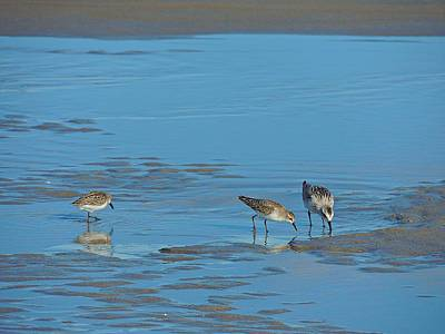 Photograph - Sanderlings by Marcia Lee Jones