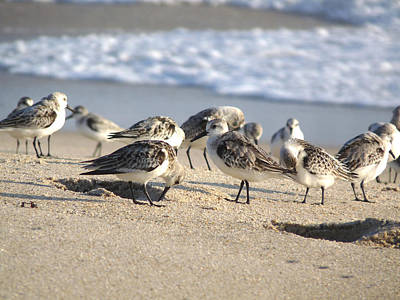 Photograph - Sanderlings. Sebastian Inlet. by Chris  Kusik