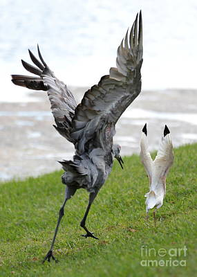 Ibis Photograph - Sandhill Chasing Ibis by Carol Groenen