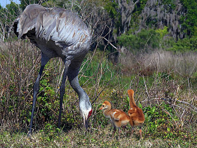 Sandhill Crane 033 Art Print by Chris Mercer