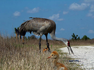 Art Print featuring the photograph Sandhill Crane 038 by Chris Mercer