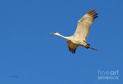 Photograph - Sandhill Crane 4 by Roena King