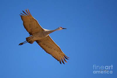 Photograph - Sandhill Crane 7 by Roena King