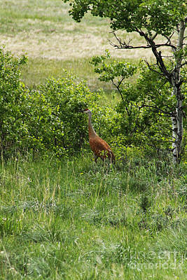 Photograph - Sandhill Crane by Alyce Taylor