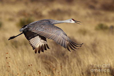 Photograph - Sandhill Crane by Bill Singleton