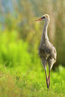 Baby Bird Photograph - Sandhill Crane Chick, Grus Canadensis by Maresa Pryor