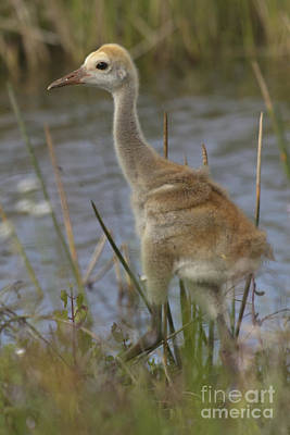 Photograph - Sandhill Crane Chick by Meg Rousher