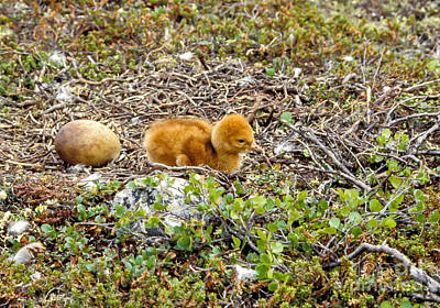 Photograph - Sandhill Crane Chick by Steven Ralser