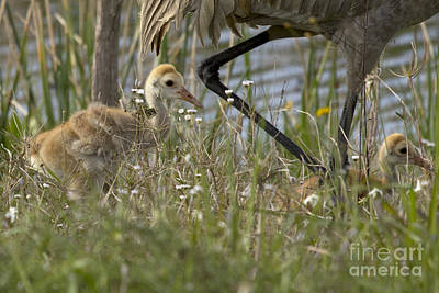 Photograph - Sandhill Crane Chicks by Meg Rousher
