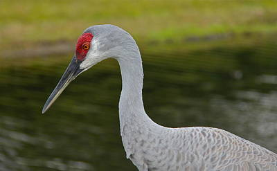 Photograph - Sandhill Crane Close Up by Denise Mazzocco