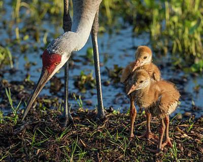 Animal Behavior Photograph - Sandhill Crane Colts On Nest by Maresa Pryor