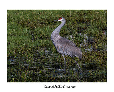 Photograph - Sandhill Crane by Dorothy Cunningham