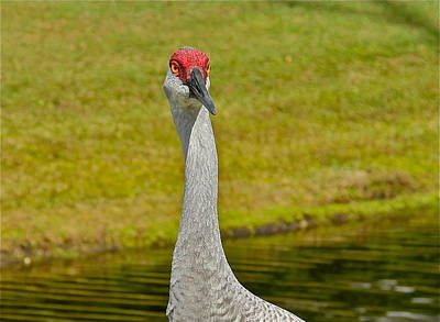 Photograph - Sandhill Crane Face-on by Denise Mazzocco