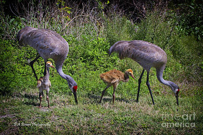 Photograph - Sandhill Crane Family by Barbara Bowen