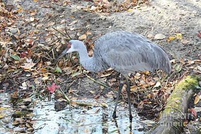 Photograph - Sandhill Crane Feeding by John Telfer