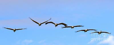 Animals Photos - Sandhill Crane Flight Pattern by Mike Dawson