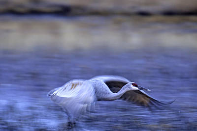 Photograph - Sandhill Crane Fly By by Judi Baker