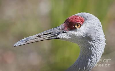 Crane Photograph - Sandhill Crane Grus Canadensis by Liz Leyden