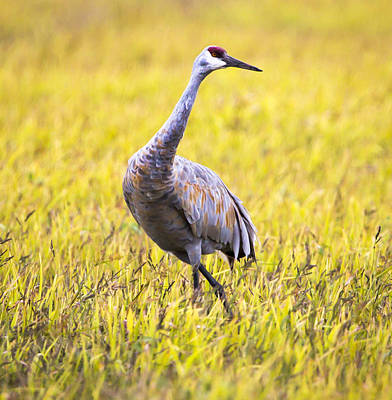 Photograph - Sandhill Crane In Fall Colors  by Ricky L Jones