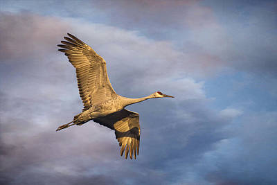 Wildlife Area Photograph - Sandhill Crane In Flight by Priscilla Burgers