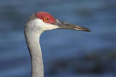 Photograph - Sandhill Crane In Profile by Bradford Martin