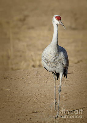 Photograph - Sandhill Crane In The Spotlight by Sabrina L Ryan