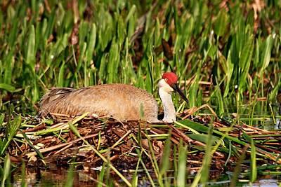 Photograph - Sandhill Crane Nest by Ira Runyan