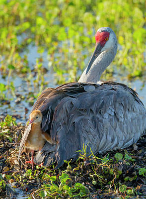 Hatchlings Photograph - Sandhill Crane On Nest With One Day Old by Maresa Pryor