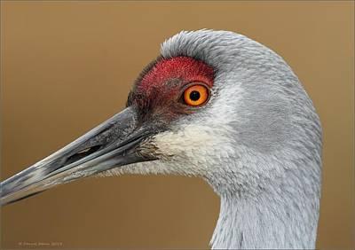 Photograph - Sandhill Crane Portrait by Daniel Behm
