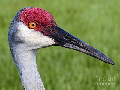 Birds Painting - Sandhill Crane Portrait by Zina Stromberg