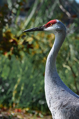 Photograph - Sandhill Crane Profile by DigiArt Diaries by Vicky B Fuller