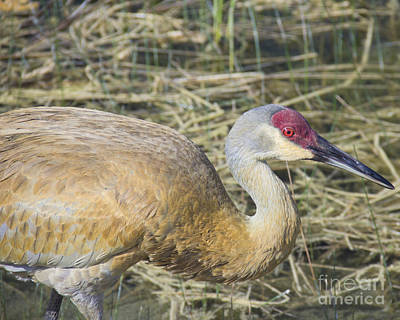 Photograph - Sandhill Crane Up Close by Carol McCutcheon