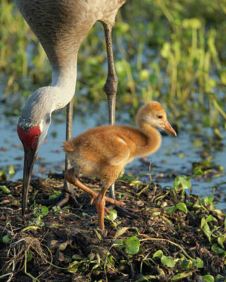 Sandhill Crane With Both Colt On Nest Art Print